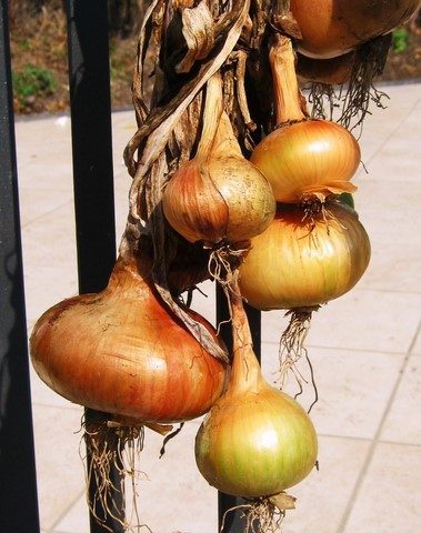 onions hanging in sunshine